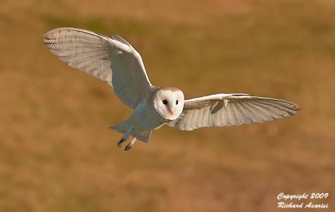 barn_owl_flight-1