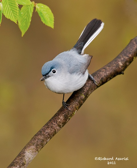 blue_gray_gnatcatcher