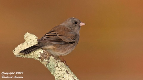 female_dark-eyed_junco