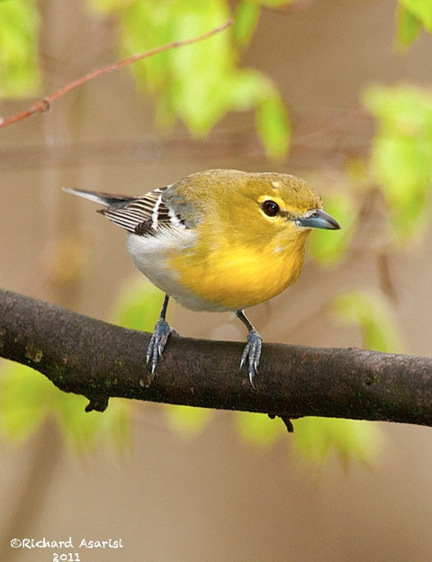 yellow-throated_vireo
